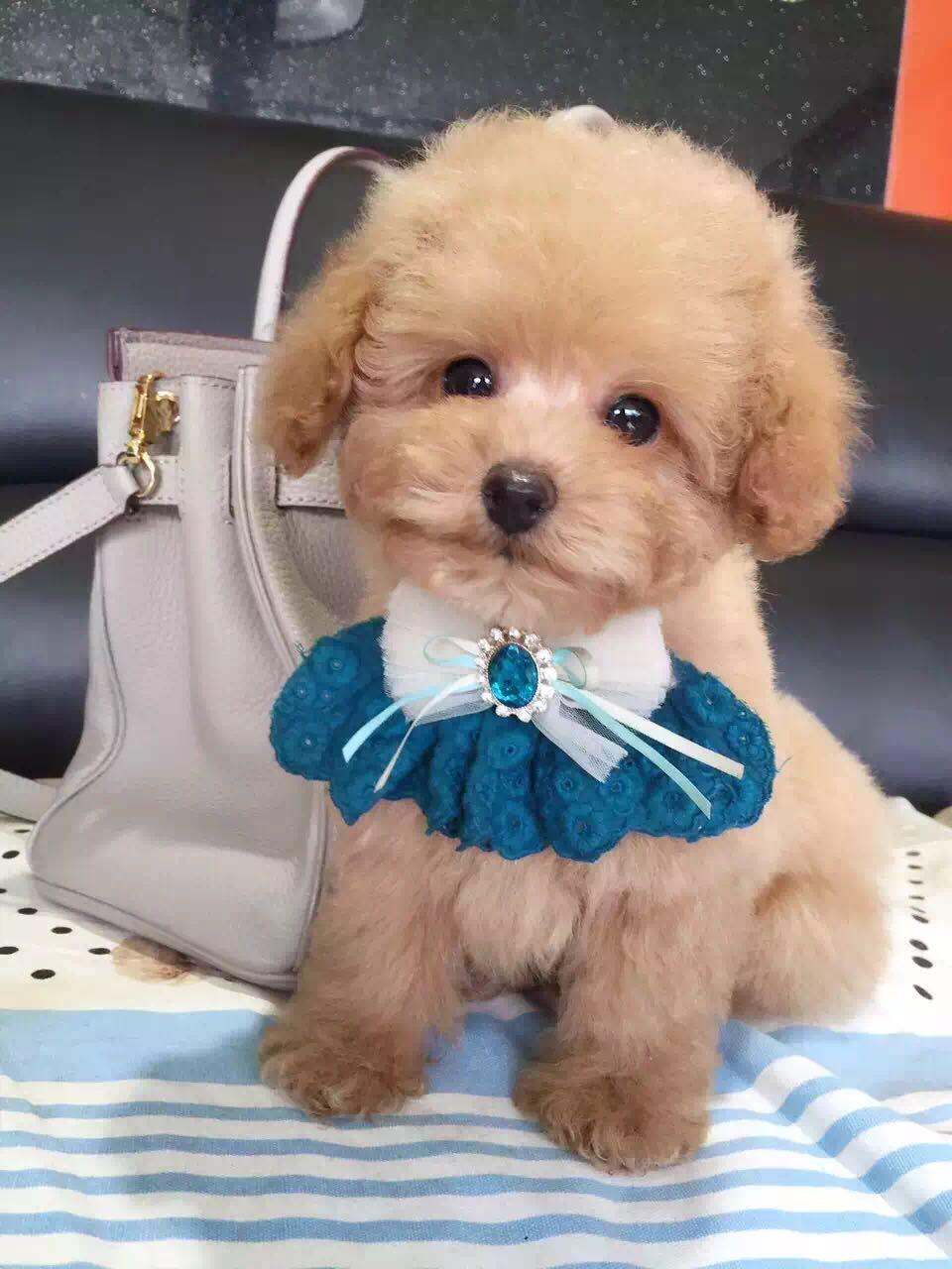 卷毛纯种泰迪犬宝宝出售 血统豪华 韩系引进精品种犬1