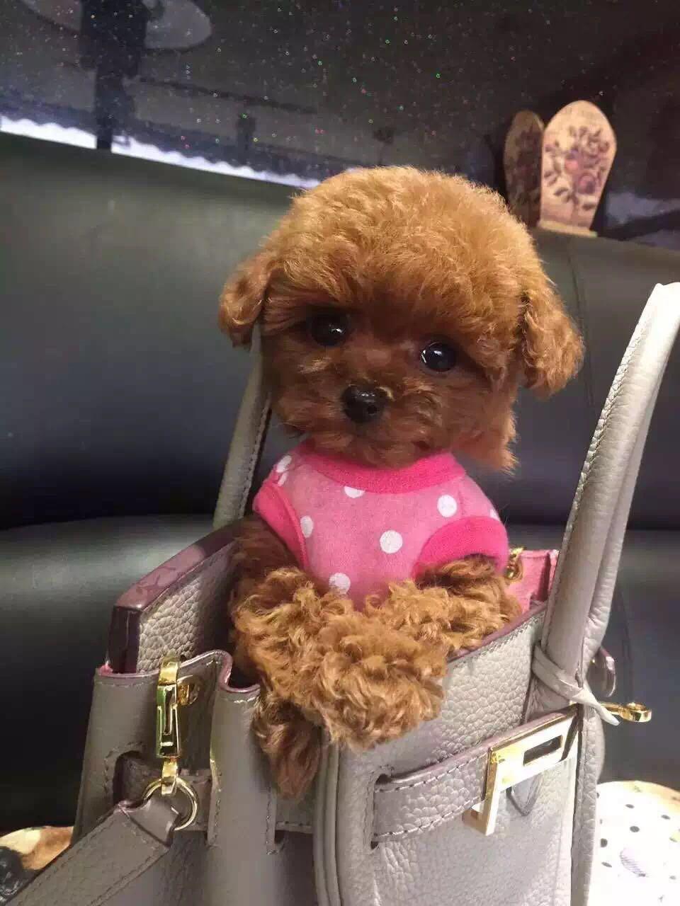 卷毛纯种泰迪犬宝宝出售 血统豪华 韩系引进精品种犬4