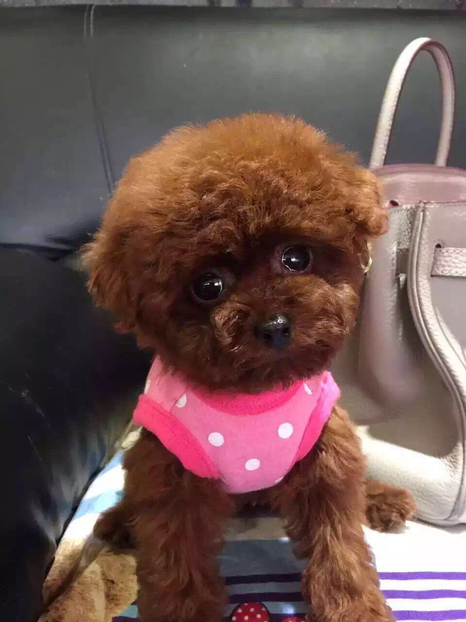 卷毛纯种泰迪犬宝宝出售 血统豪华 韩系引进精品种犬7