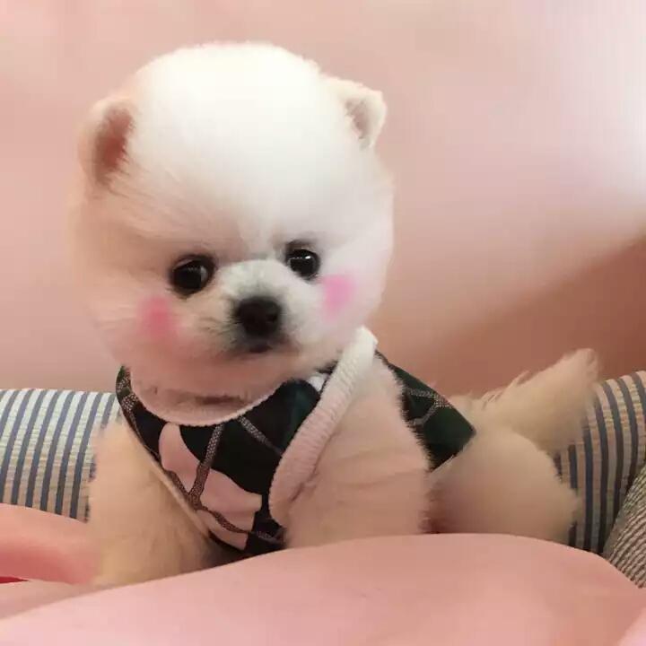 女神最受喜欢的 网红犬俊介宝宝出售8