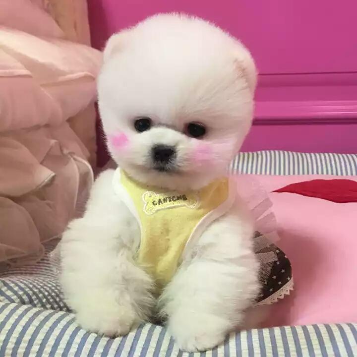 女神最受喜欢的 网红犬俊介宝宝出售3