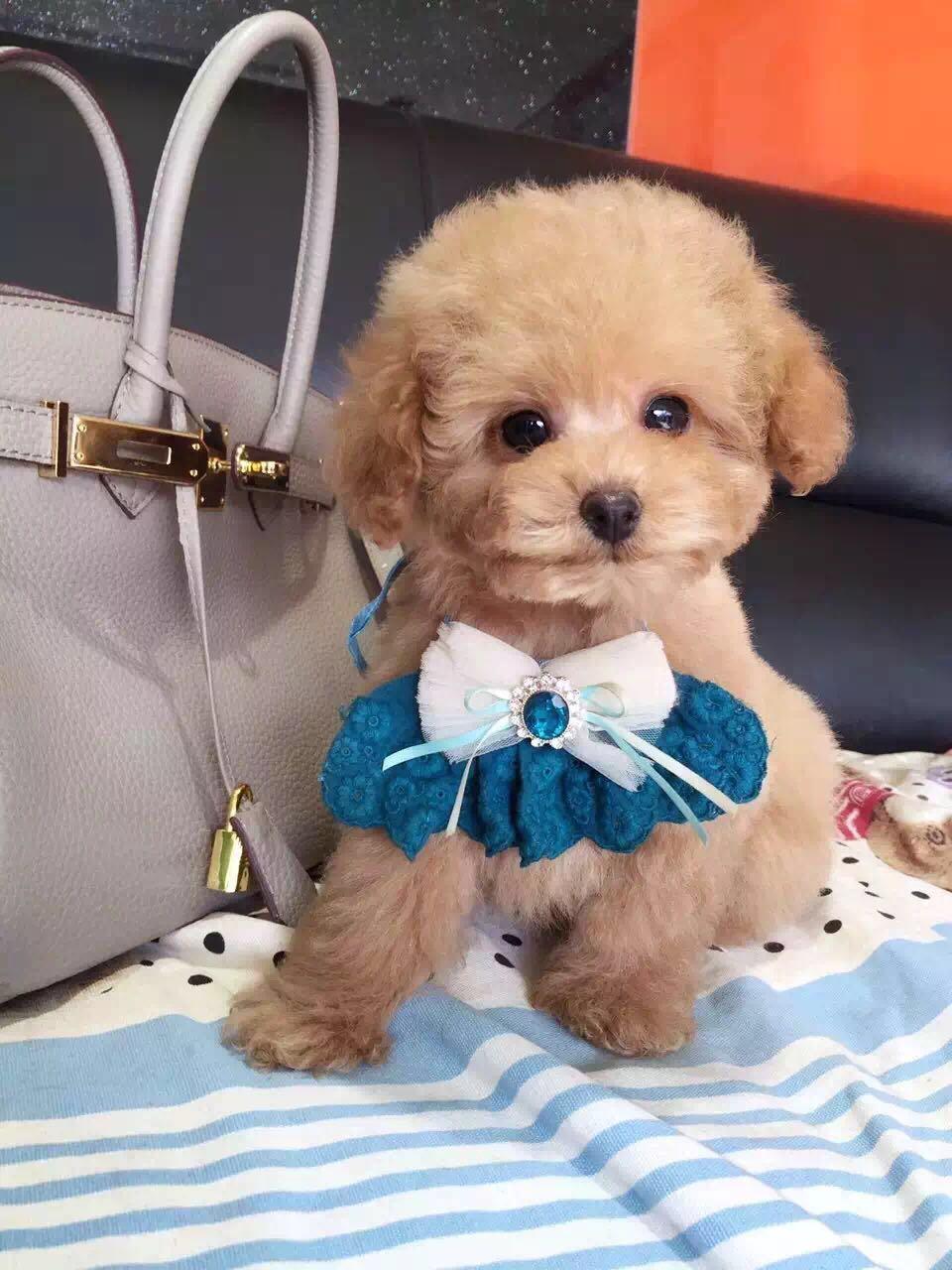 卷毛纯种泰迪犬宝宝出售 血统豪华 韩系引进精品种犬8