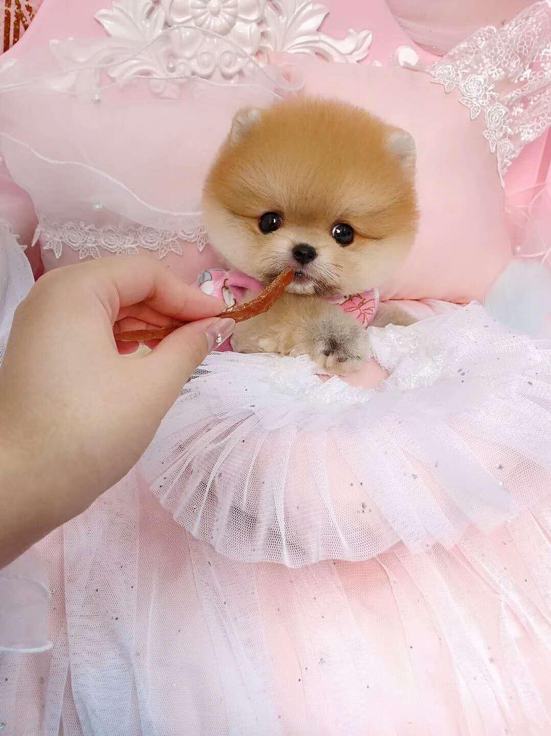 女神最受喜欢的 网红犬俊介宝宝出售