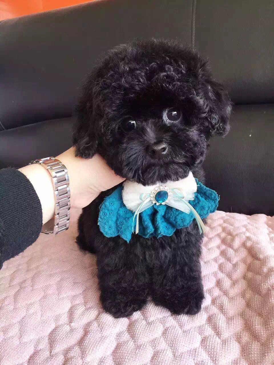 卷毛纯种泰迪犬宝宝出售 血统豪华 韩系引进精品种犬10