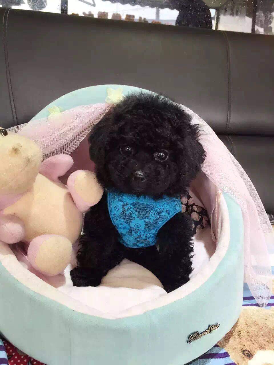 卷毛纯种泰迪犬宝宝出售 血统豪华 韩系引进精品种犬3