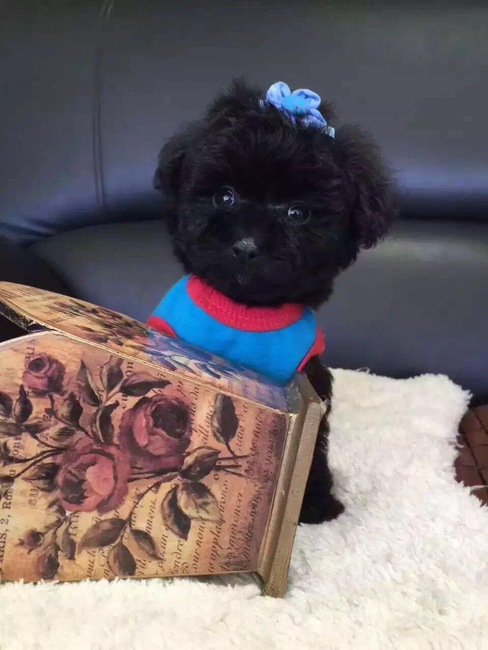 卷毛纯种泰迪犬宝宝出售 血统豪华 韩系引进精品种犬9