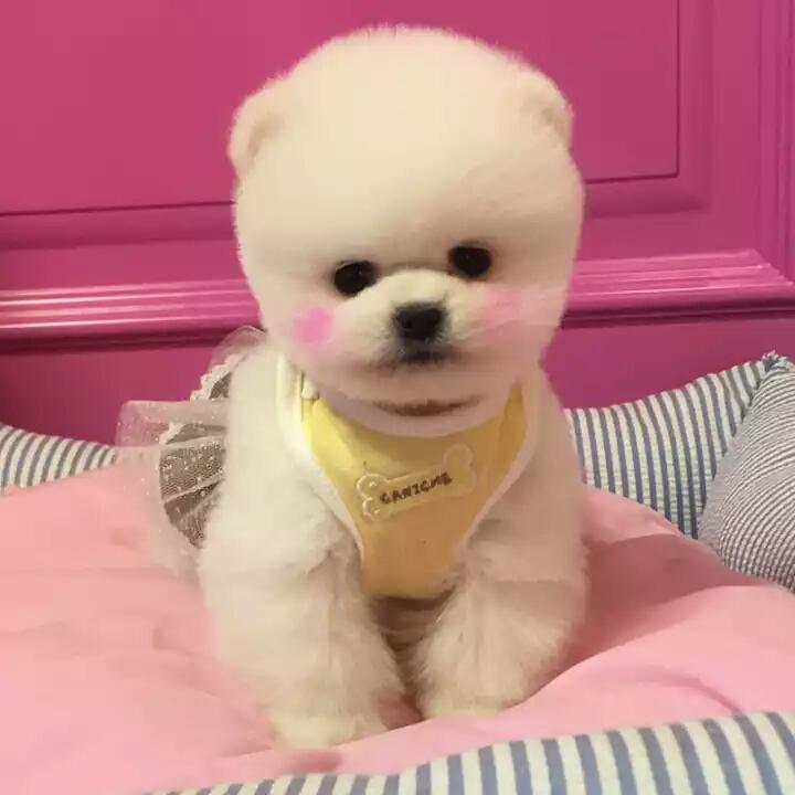 人人喜欢的网红犬 俊介宝宝出售 血统豪华品质高端