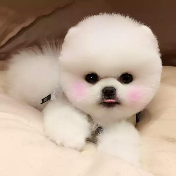 可爱俊介网红犬 正规繁殖基地 球体高颜值
