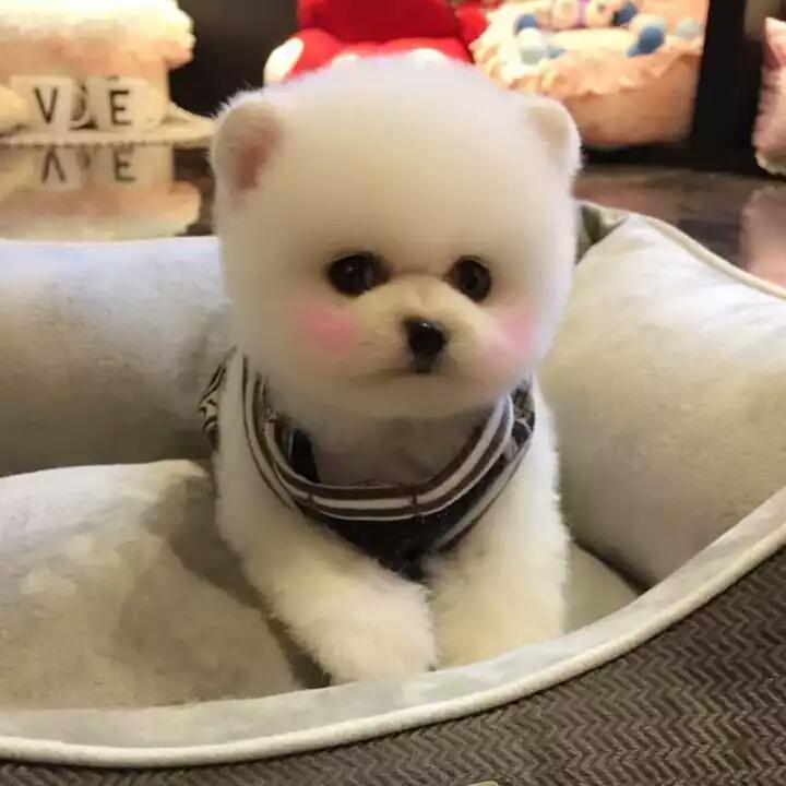 网红俊介犬宝宝 专业繁殖犬舍 血统纯正球体长不大体