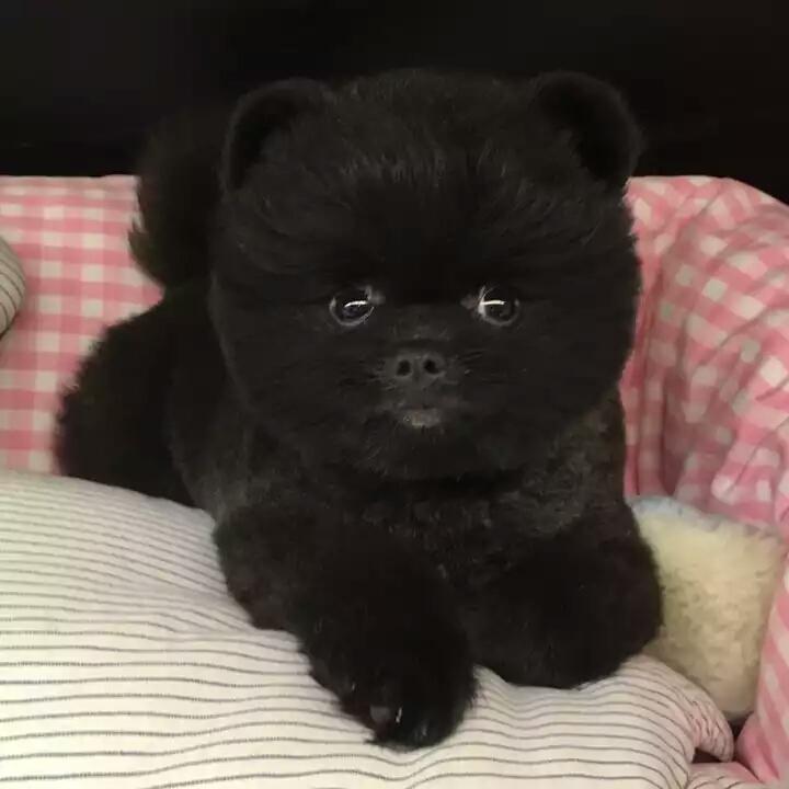 俊介宝宝 网红犬出售 专业养殖2