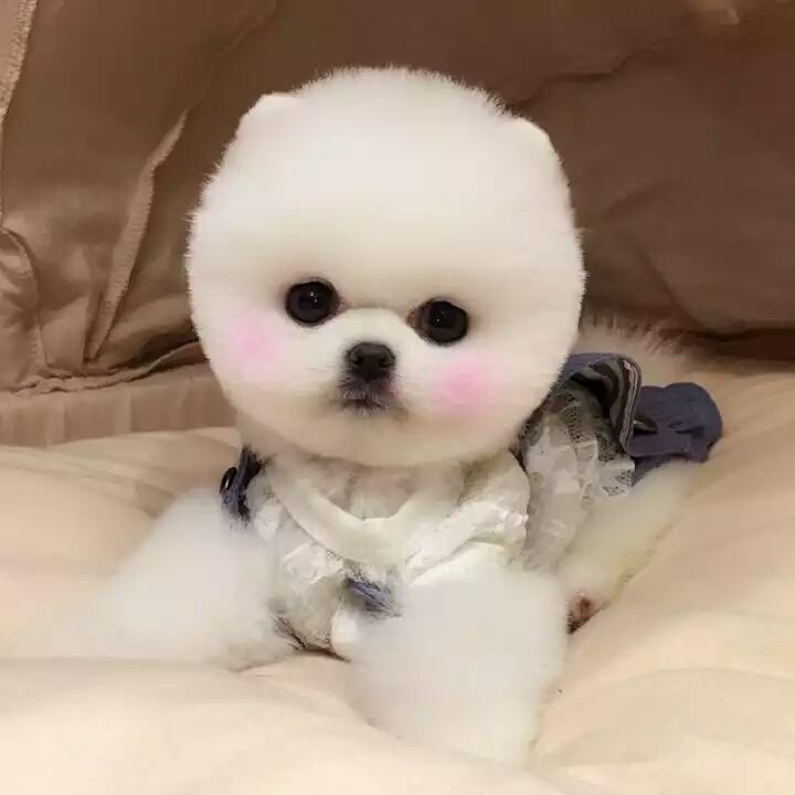 俊介宝宝 网红犬出售 专业养殖4