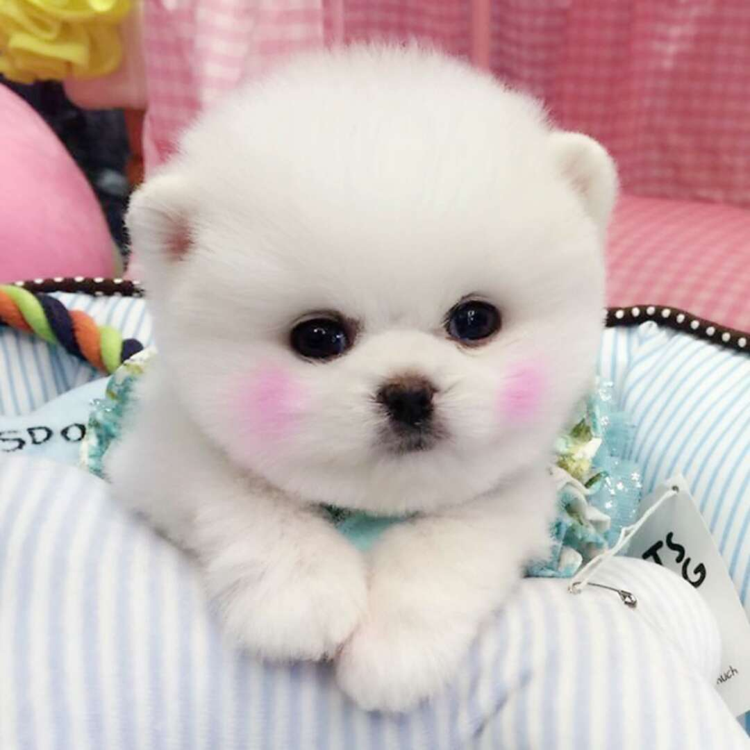 俊介宝宝 网红犬出售 专业养殖3
