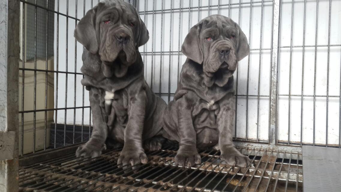 纽波利顿 基地出售纯种纽波利顿犬