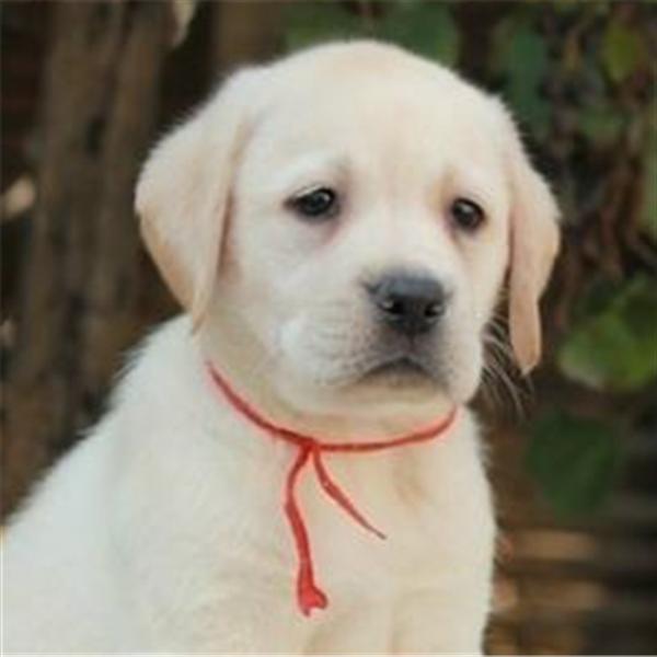 出售纯种拉布拉多幼犬活体神犬小七黑白色拉布拉多导盲犬宠物狗