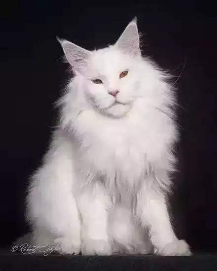 缅因猫蓝色小公猫三个半月布偶无毛加菲英短美短暹罗矮脚东短