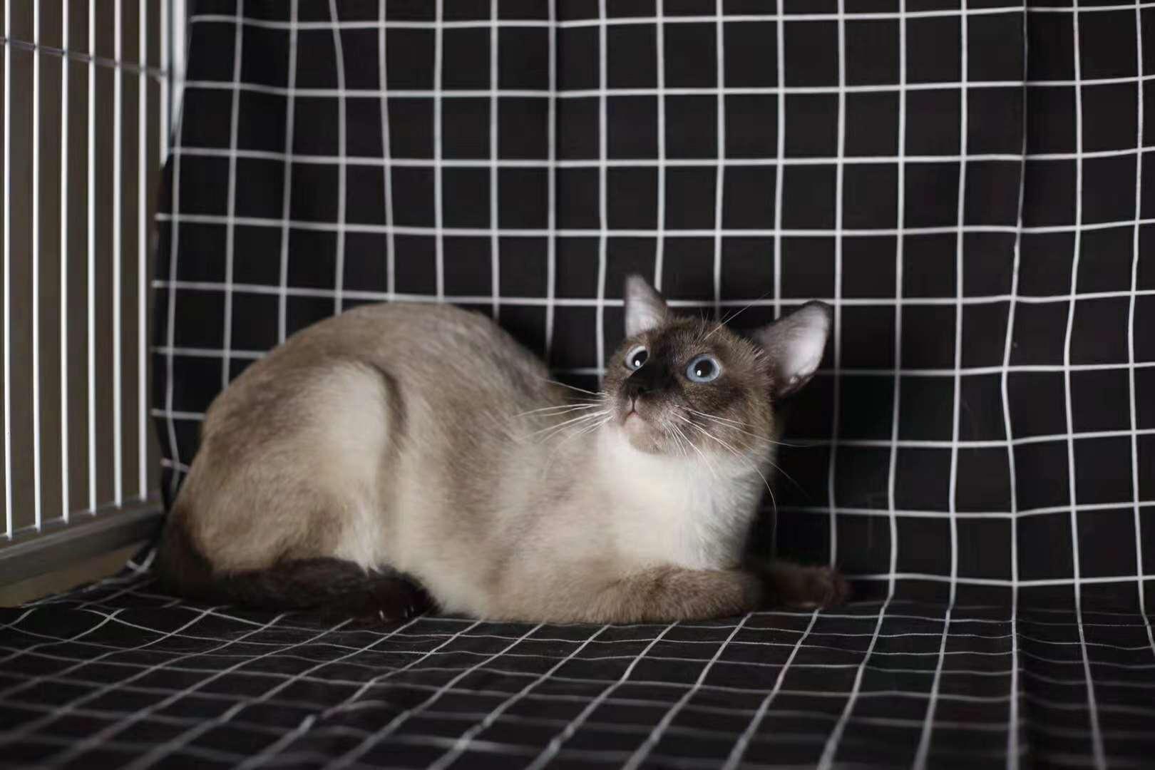 活体宠物猫,正规猫舍自己繁育,现货出售看上买3