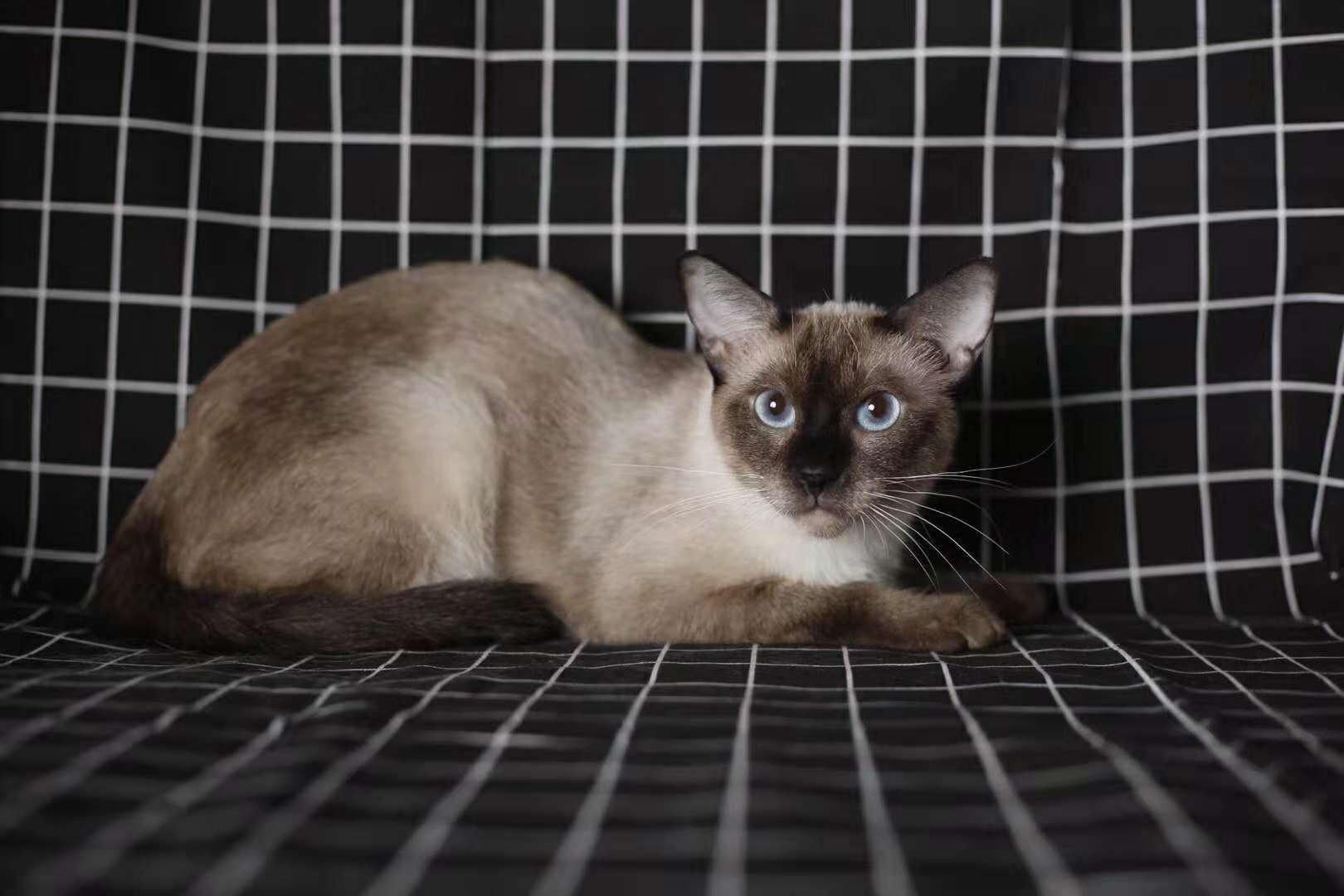 活体宠物猫,正规猫舍自己繁育,现货出售看上买