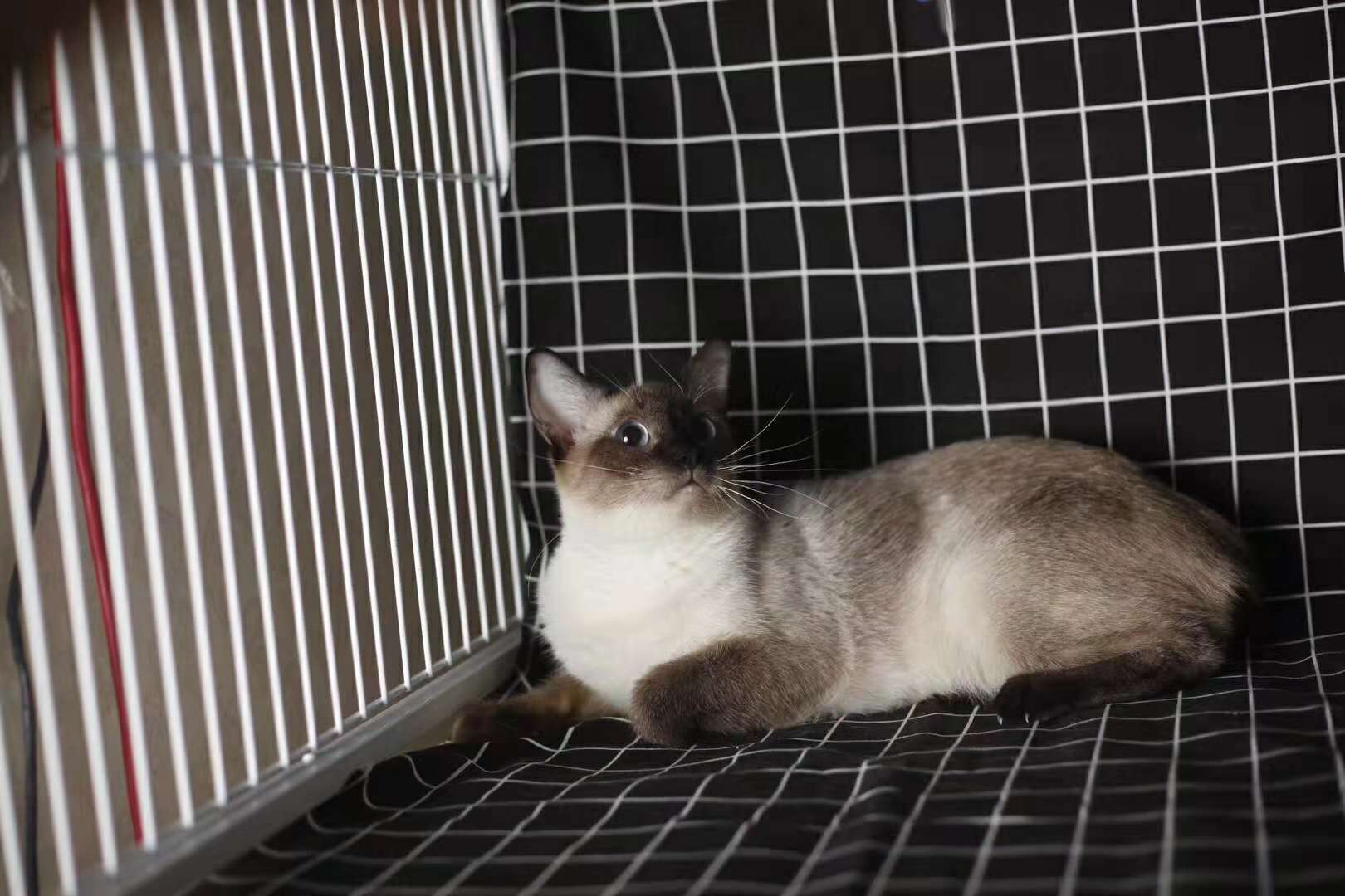 活体宠物猫,正规猫舍自己繁育,现货出售看上买2