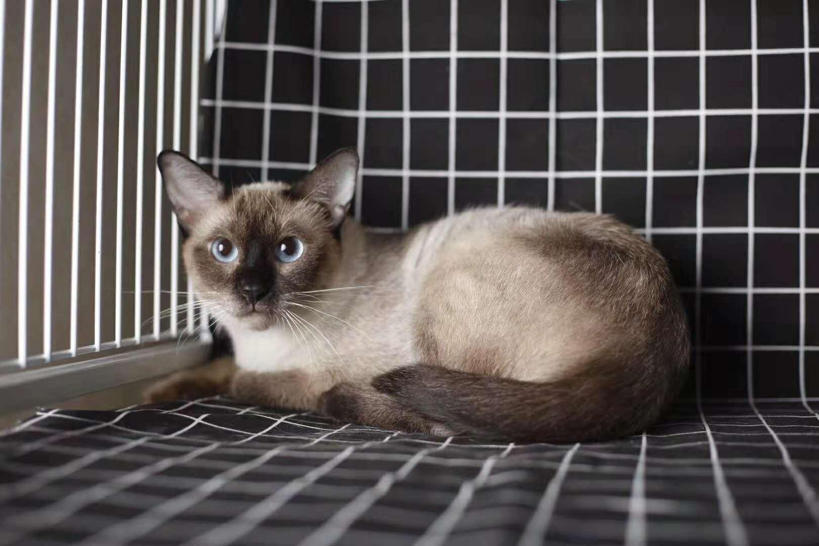 活体宠物猫,正规猫舍自己繁育,现货出售看上买4