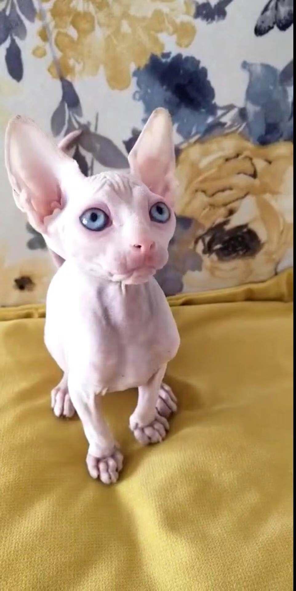 斯芬克斯无毛猫白皮长相甜美包健康