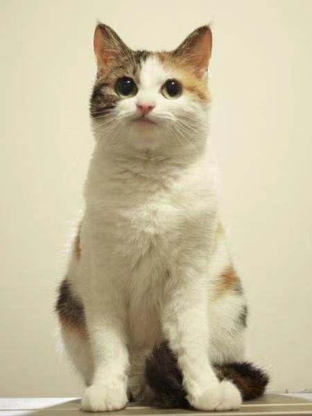 中华田园猫 本土猫 健康无藓