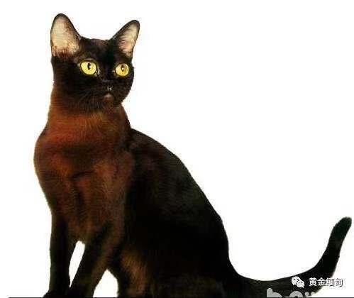 缅甸猫包纯种健康无藓