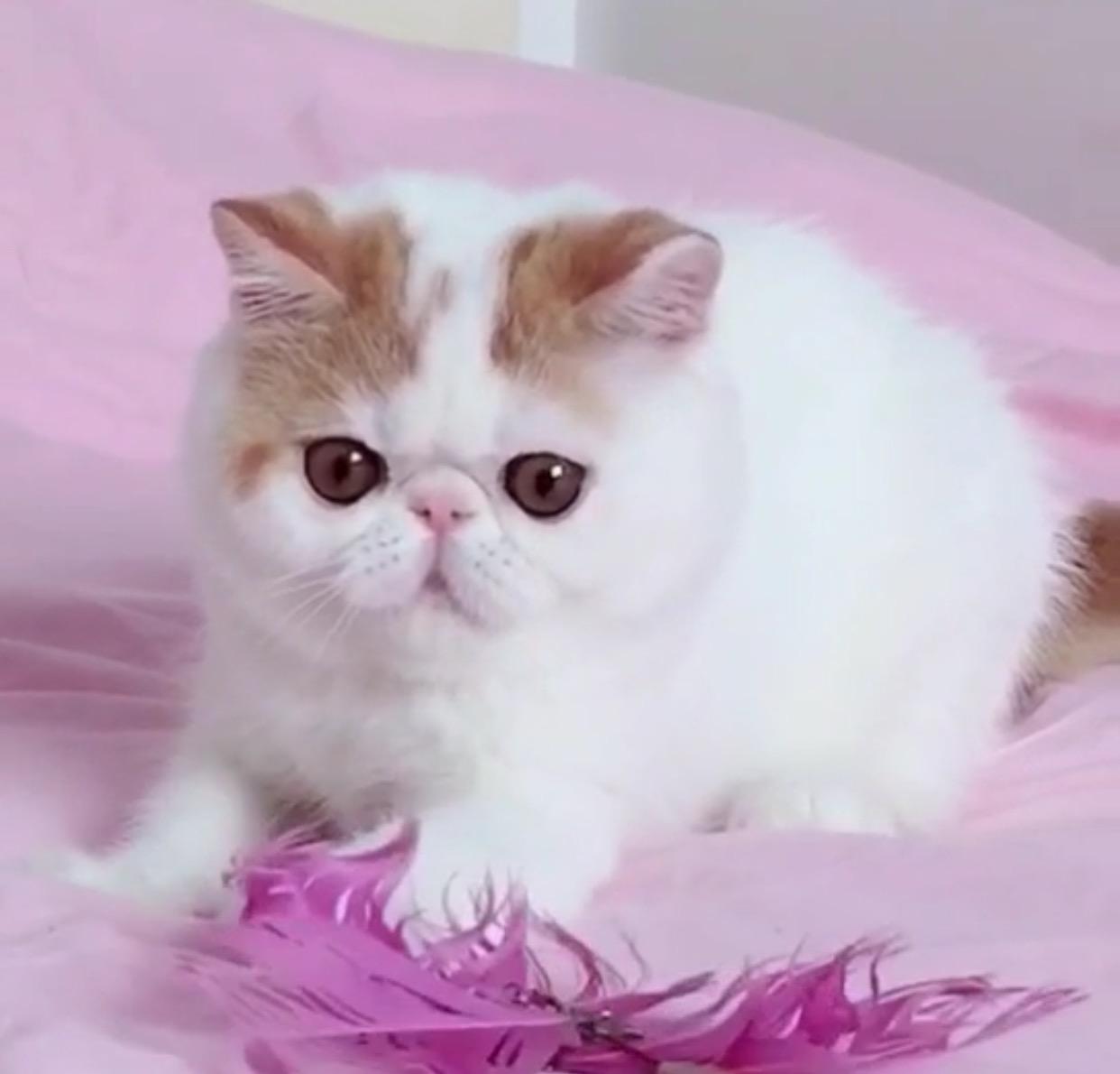 加菲猫大脸盘子 包健康纯种
