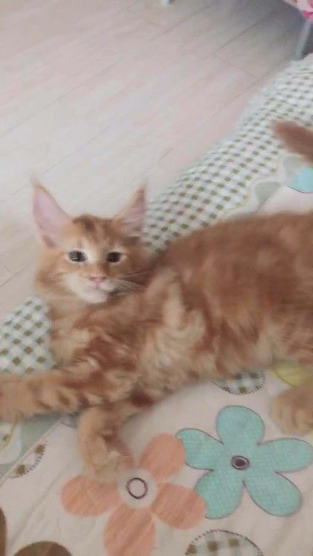 缅因猫 包健康包纯种