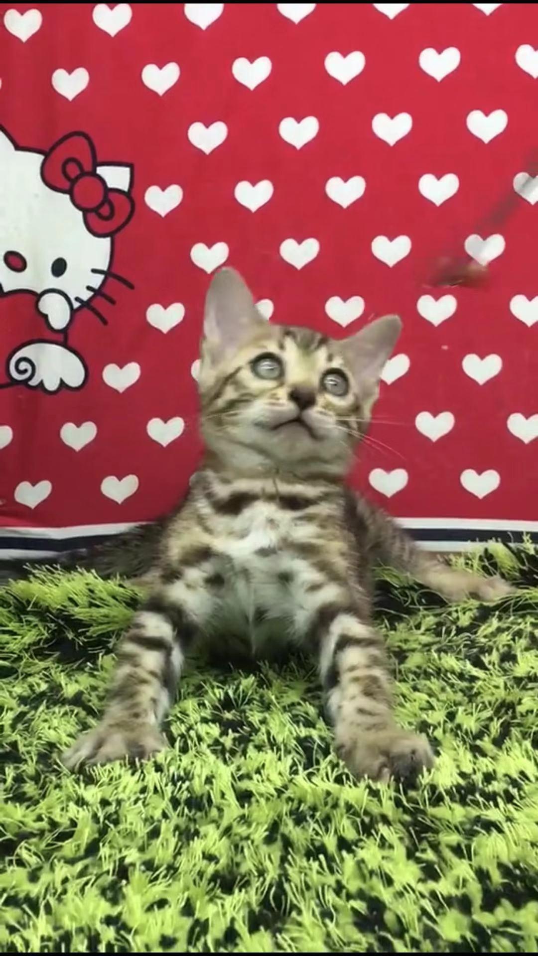 纯种豹猫纯种孟加拉豹猫包纯种健康无藓