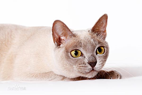 缅因猫幼猫活体小猫咪纯种家养缅因猫活体 包健康