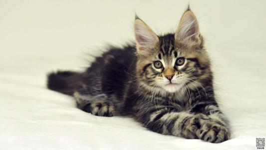 美国缅因猫活体幼猫宠物猫红虎斑缅因猫咪外形霸气