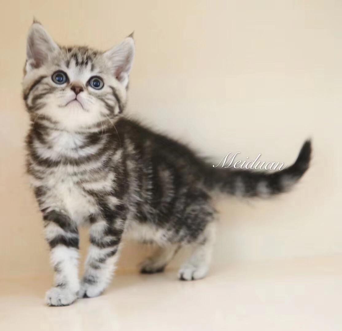 宠物猫美国短毛猫银虎斑起司猫活体幼猫纯种家养