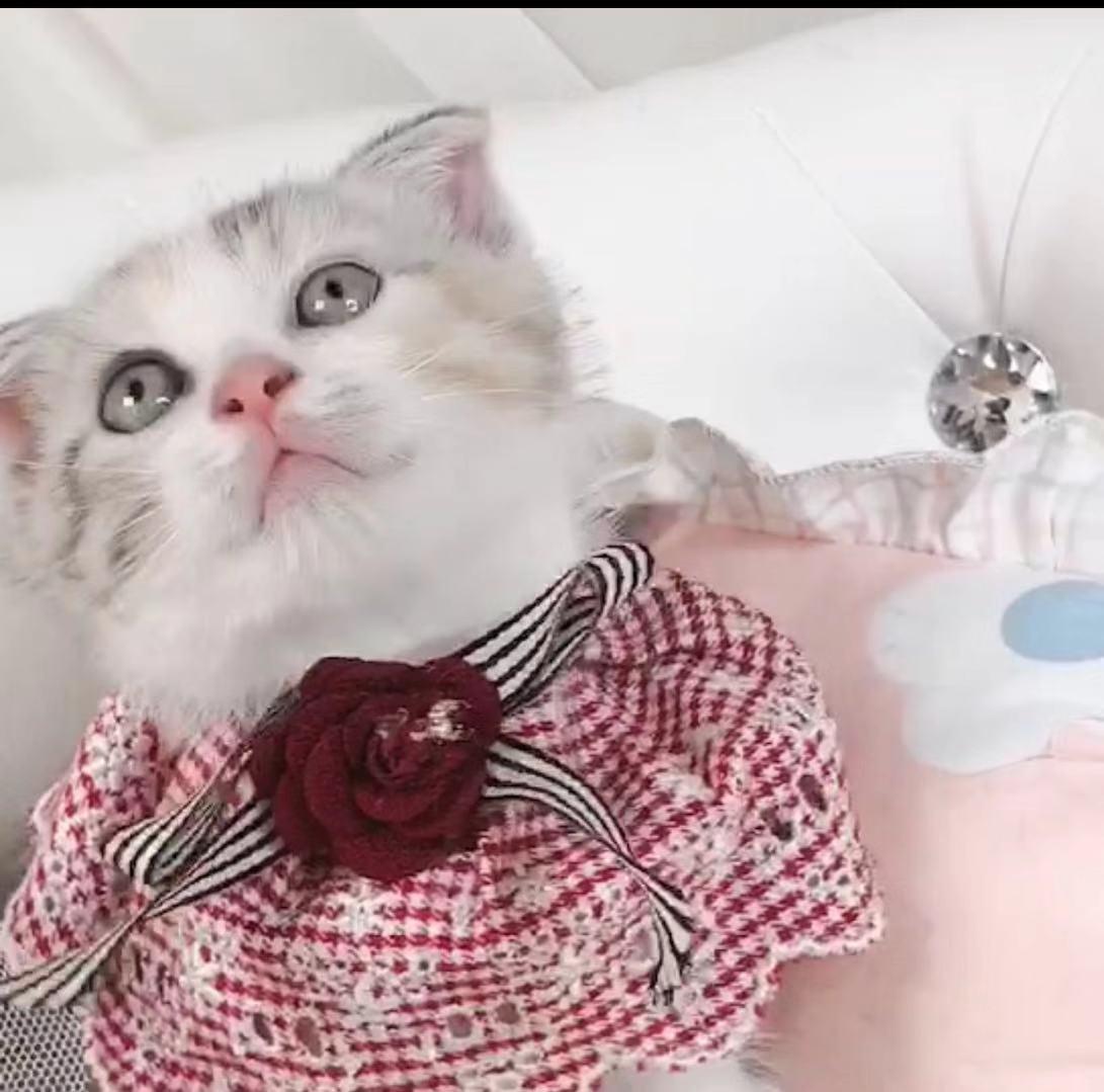 纯种英国短毛折耳猫 蓝猫 英短蓝白 折耳猫宠物活体