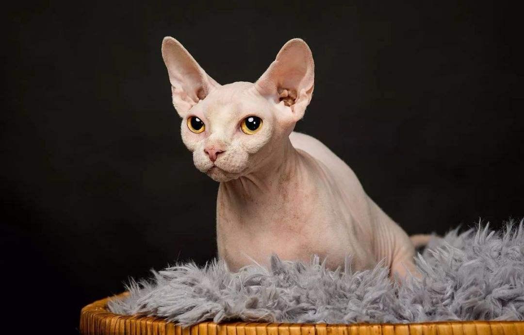 活体大型宠物缅因猫烟灰色虎斑活体加拿大无毛猫矮脚孟买猫折耳