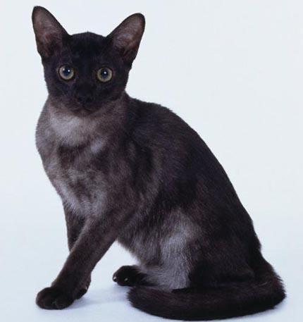 宠物缅因猫幼猫活体小猫咪纯种家养缅因猫活体出售1