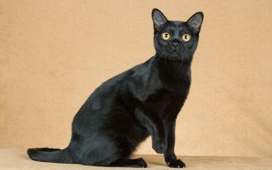 宠物缅因猫幼猫活体小猫咪纯种家养缅因猫活体出售2