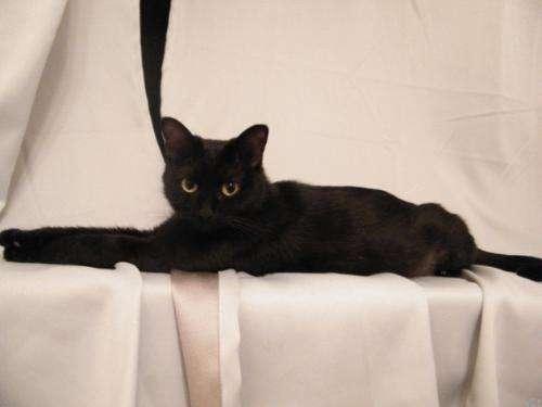 宠物缅因猫幼猫活体小猫咪纯种家养缅因猫活体出售4