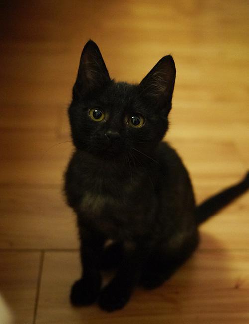宠物缅因猫幼猫活体小猫咪纯种家养缅因猫活体出售3