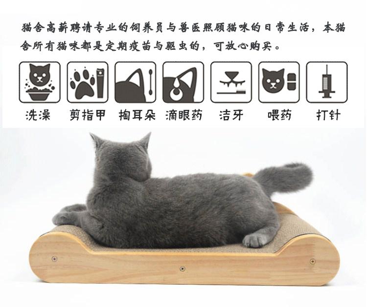 宠物缅因猫幼猫活体小猫咪纯种家养缅因猫活体出售10