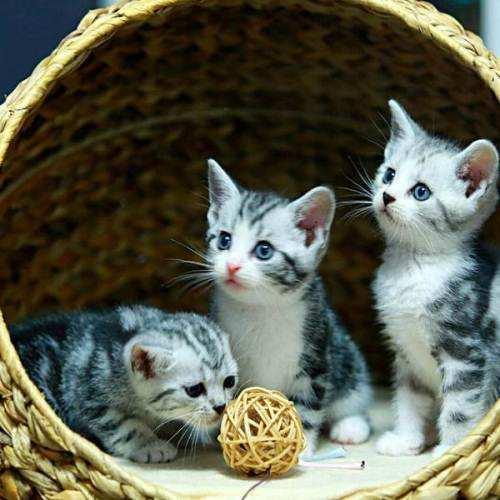 纯种美国短毛猫纯种美短加白起司猫活体美短虎斑立耳银虎斑