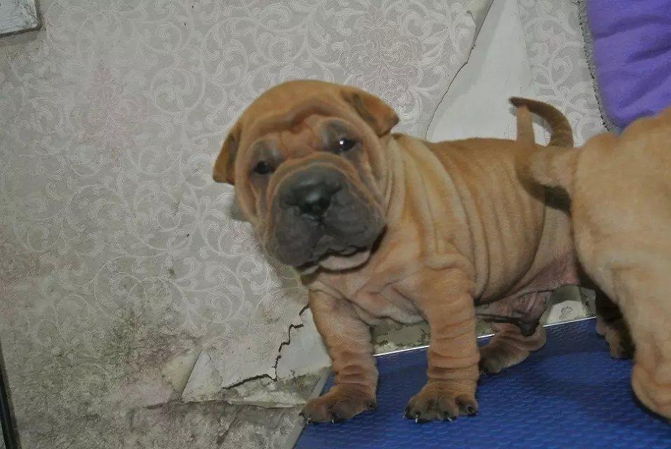 出售高品质沙皮狗、沙皮幼犬,血统纯正包品质、专业信誉服务2