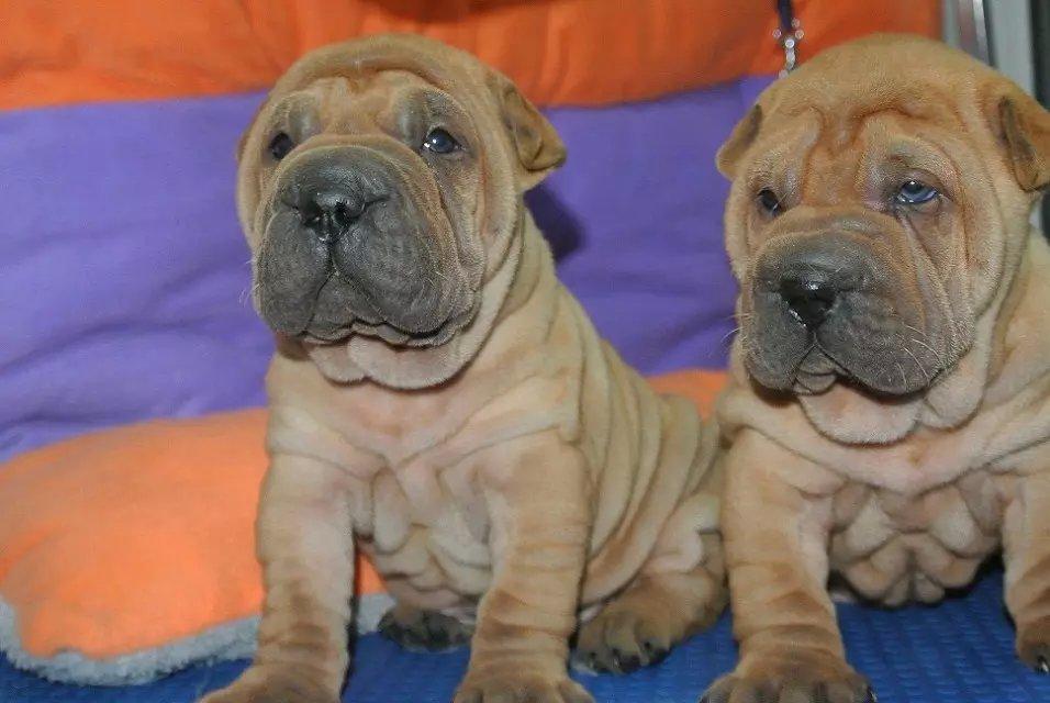 出售高品质沙皮狗、沙皮幼犬,血统纯正包品质、专业信誉服务1
