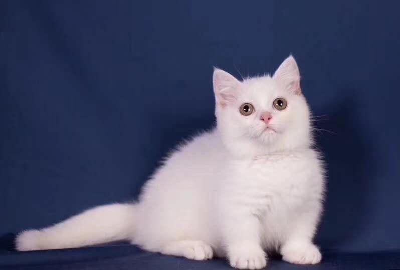 猫舍曼基康矮脚猫活体宠物猫蓝白矮脚幼猫拿破仑短腿猫活体纯种