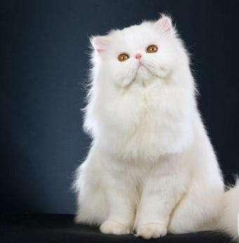 波斯猫 健康无藓 包健康纯正血统