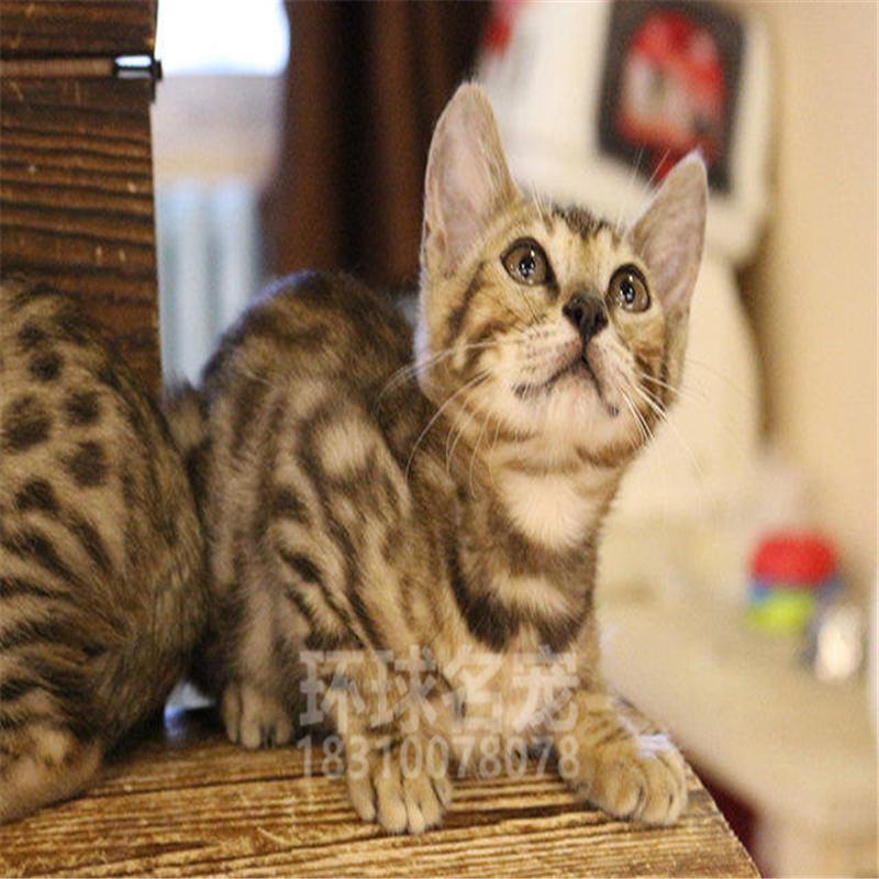 金色炭色银色孟加拉豹猫纯种大玫瑰银豹赛级金钱豹活体幼猫