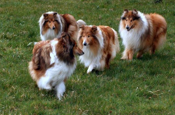 官方保障|苏格兰牧羊犬 包纯种健康养活 可送货上门