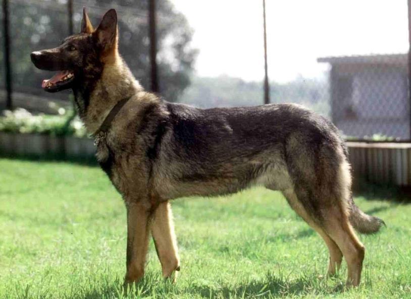 犬舍大量出售昆明犬 带血统带证书 980/只 支持货到付款