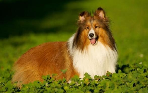 官方保障|犬舍繁殖喜乐蒂 包纯种健康养活 可送货上门