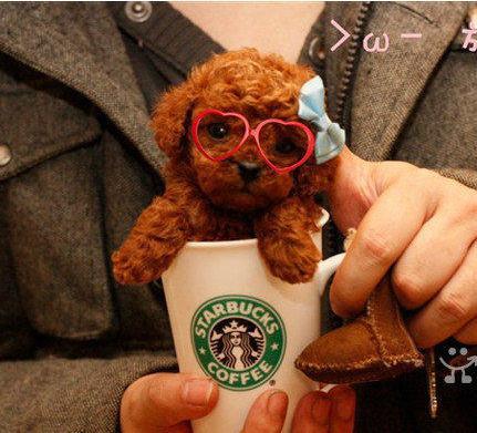官方保障|犬舍繁殖泰迪 包纯种健康养活 可送货上门