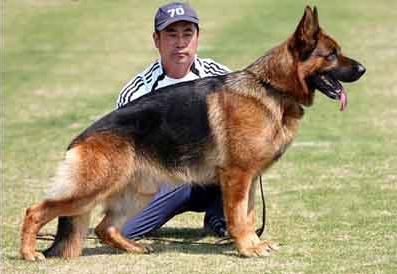 官方保障|犬舍繁殖德牧 包纯种健康养活 可送货上门
